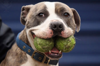 Friendly Pit Bull with tennis balls in his mouth