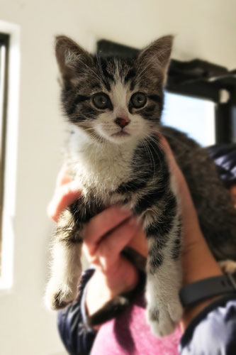 Cute tabby kitten with white patches named Katie visits the vet for her shots and vaccines.