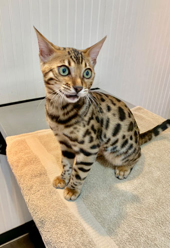 DRACO the Bengal sports spots that are the cat's pajamas!